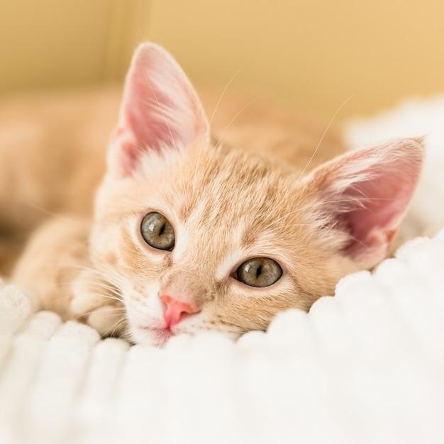 白いベッドカバーの若い赤猫 Premium写真