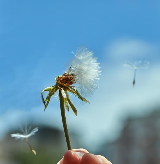 青い空を背景に自然に咲くタンポポ。 Premium写真