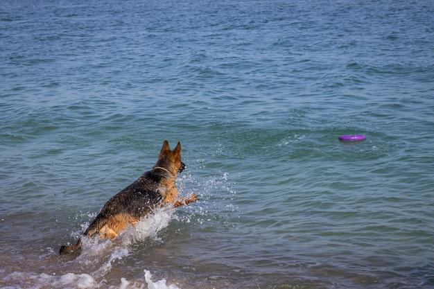 ジャーマン・シェパード犬が海でジャンプ Premium写真