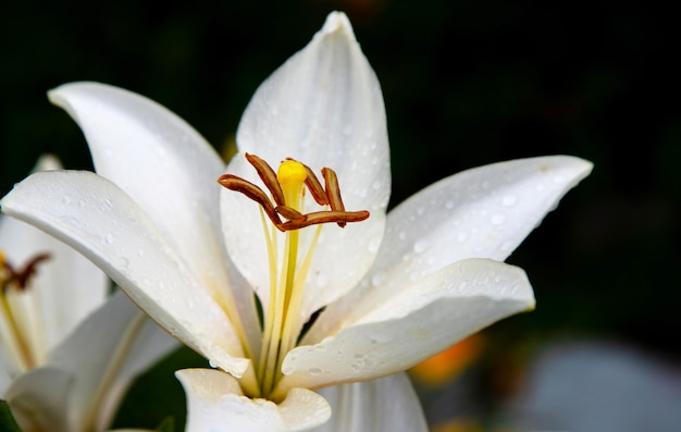 雨の後の白いユリの芽。 Premium写真