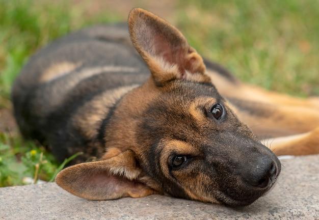 草の上に横たわるホームレスの子犬犬の肖像画 Premium写真