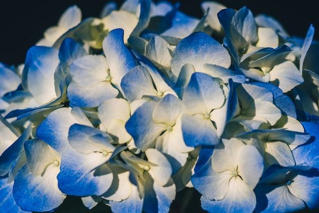Синие красивые цветы гортензии в дождь Premium Фотографии