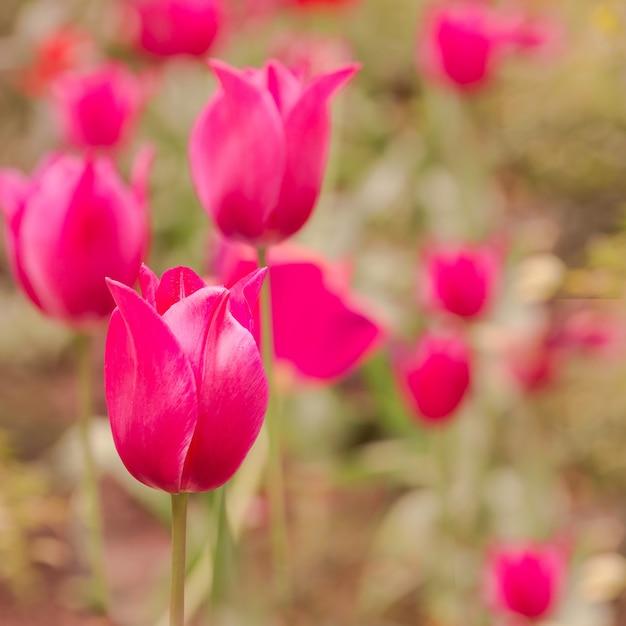 Поле с розовыми тюльпанами. Бесплатные Фотографии