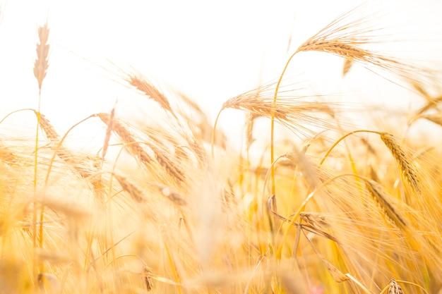 小麦のクローズアップ。 無料写真