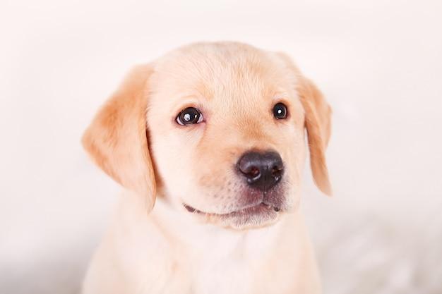 白地に黄色のかわいいラブラドールビーグルミックス子犬 Premium写真