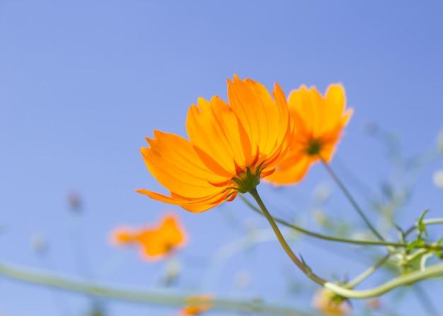 Оранжевый цветок космос и голубое небо Premium Фотографии