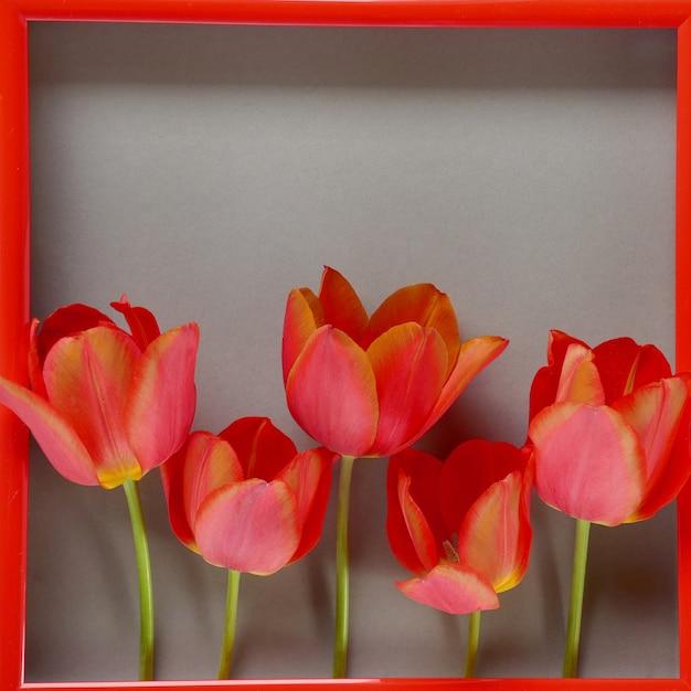 花のフレーム。花カード。灰色の背景に赤枠に赤いチューリップ。母の日。国際婦人デー。 Premium写真
