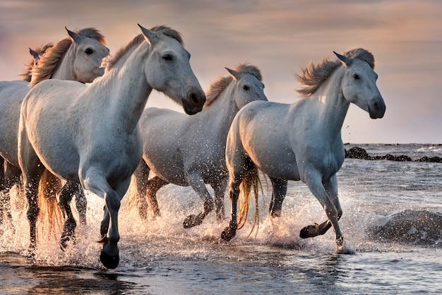 フランス、カマルグの白い馬。 Premium写真