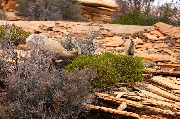 春のシオンビッグホーン羊と子羊 Premium写真