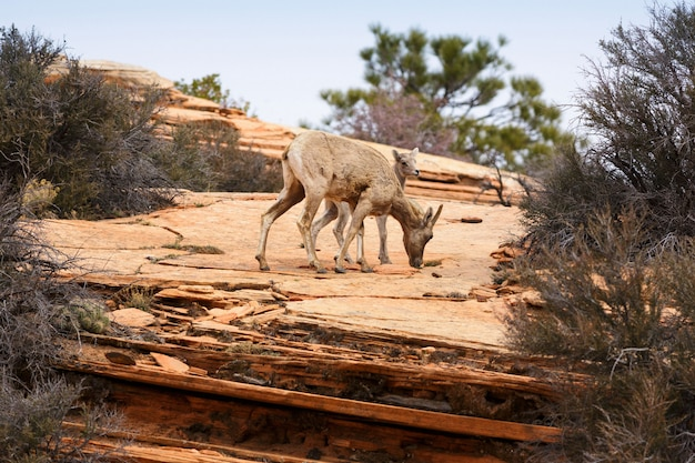 ビッグホーン羊と子羊 Premium写真