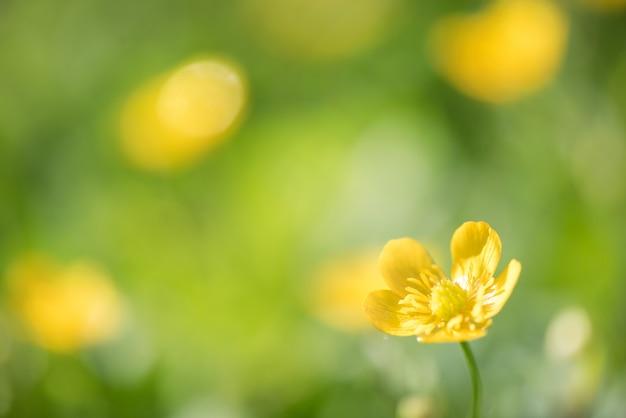 朝のフィールドで多くの黄色い花がぼやけて背景。 Premium写真