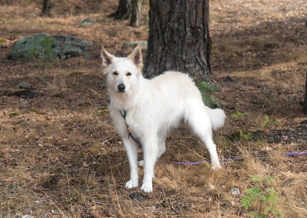 森の中の白いジャーマンシェパード Premium写真