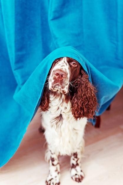 Собака прячется за занавесками и боится выходить на улицу. питомцы психическое здоровье, чрезмерная эмоциональность. Premium Фотографии