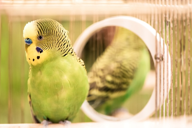 Зеленый попугай волнистый попугайчик крупным планом сидит в клетке. симпатичный зеленый волнистый попугайчик. Premium Фотографии