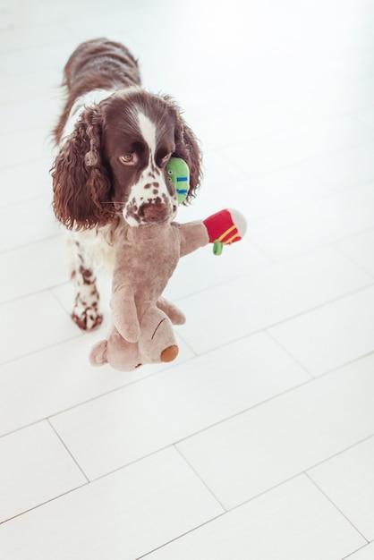 Собака спаниель стоит и предлагает поиграть с мягкой игрушкой. Premium Фотографии