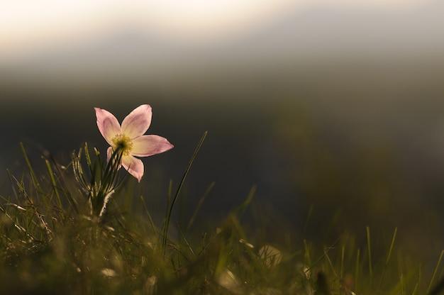 日没の春の岩に咲くオキナグサの花。 Premium写真