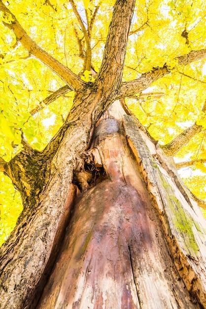日本のイチョウの木 無料写真