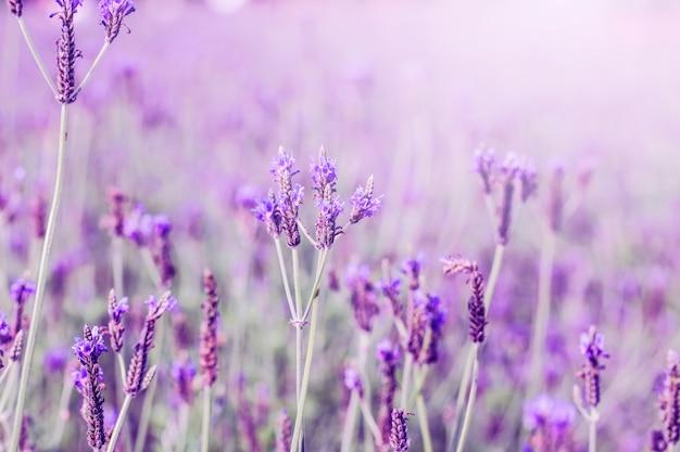 北海道、プロバンスの紫色のラベンダー畑の夕日 無料写真