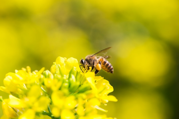 キャノーラの花に花粉を集めるミツバチ Premium写真