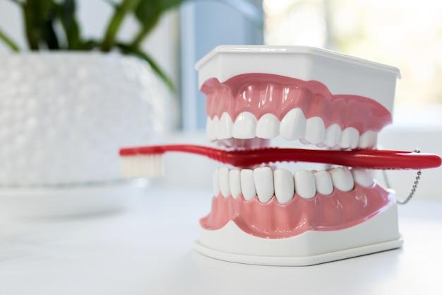 白いテーブルの上の赤い歯ブラシと顎モデルをクローズアップ Premium写真