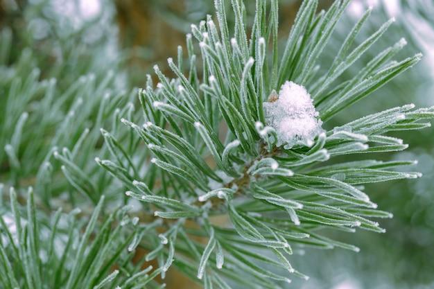 霜で覆われた松の木 Premium写真