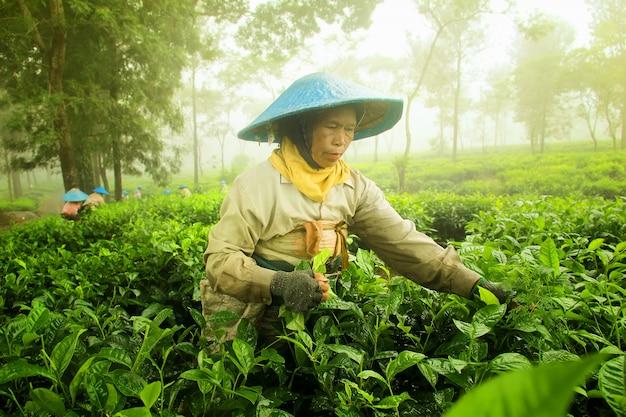 農家は茶葉を摘んでいます Premium写真