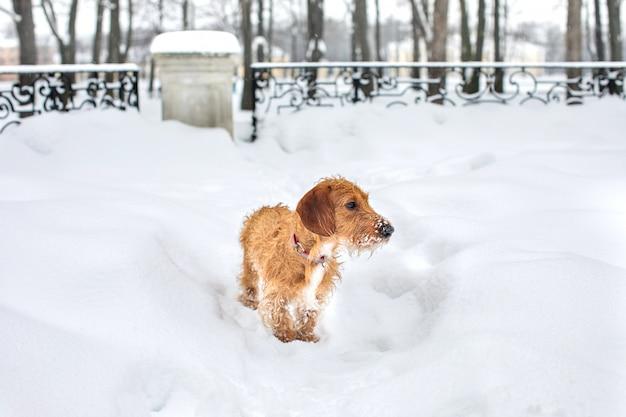 冬の散歩に小さな茶色のワイヤー髪のダックスフント。 Premium写真