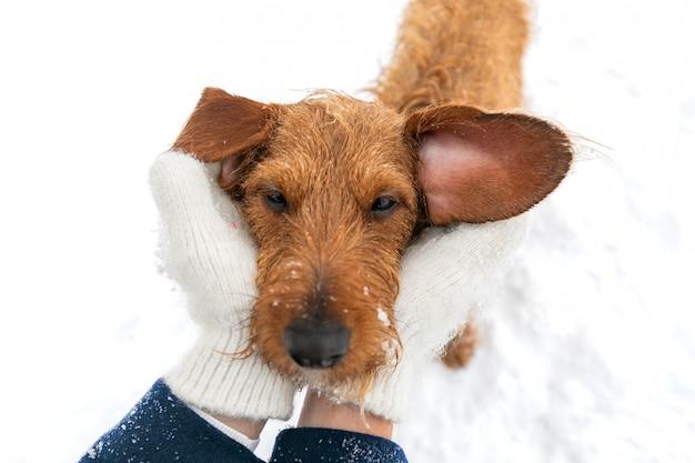 冬の散歩に小さな茶色のワイヤー髪のダックスフントの肖像 Premium写真