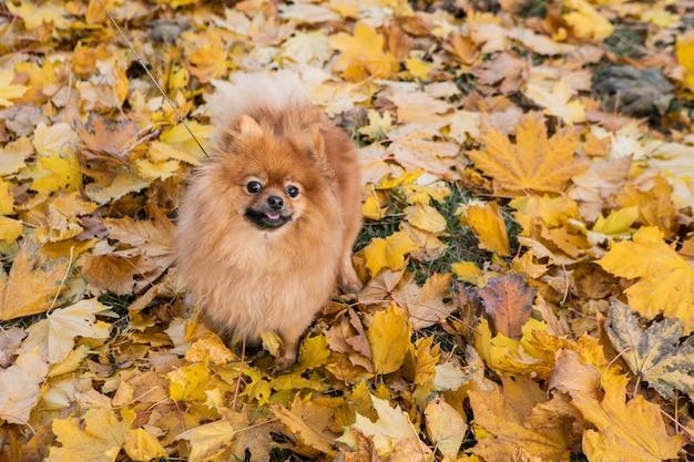Породистый померанский щенок. Premium Фотографии