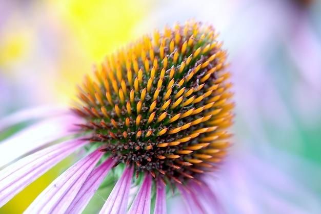 Эхинацея подробно флоры цветение эхинацеи красочные Бесплатные Фотографии