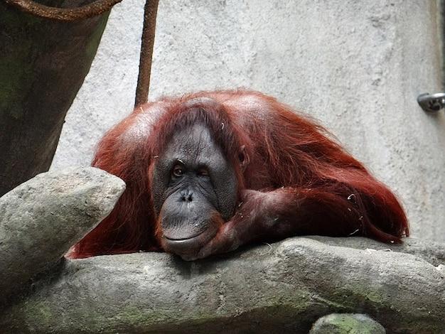 オランウータン自然ウインクイリノイ州の動物園 無料写真