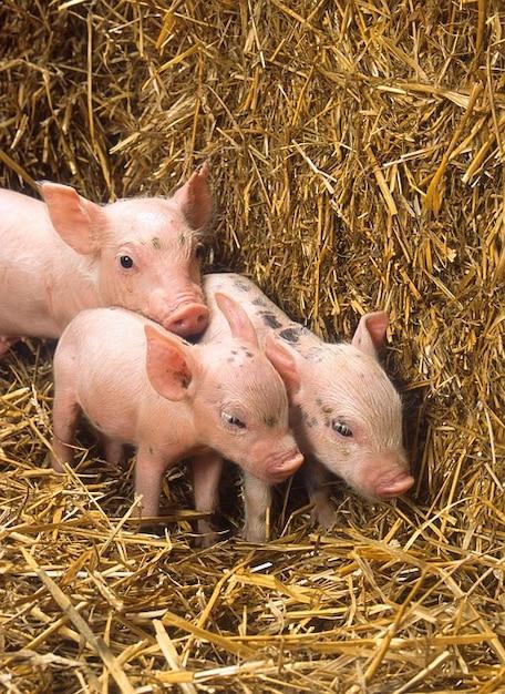 豚かわいい赤ちゃん豚わら農場干し草 無料写真