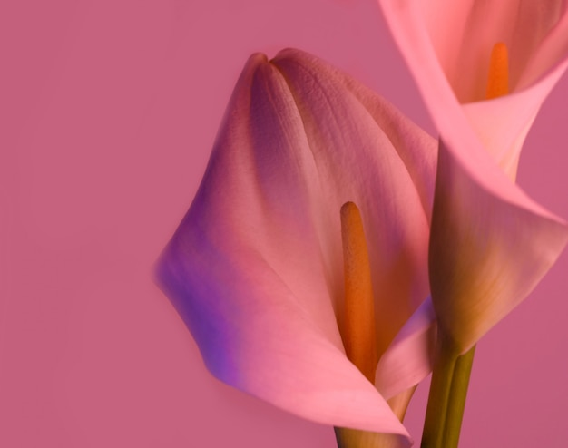 美しい花オランダカイウユリ Premium写真