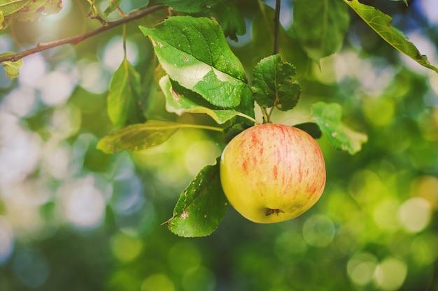 枝に重量を量る自然の新鮮なリンゴ Premium写真