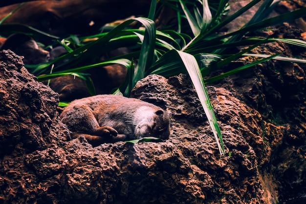 Коричневая выдра спит обнимаются на скалах и под зеленым растением Бесплатные Фотографии