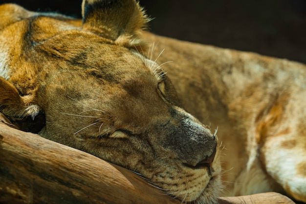眠っている雌ライオンのクローズアップ 無料写真