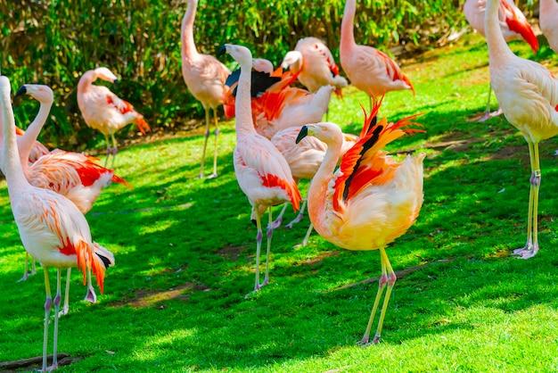 公園の芝生の上を歩いて美しいフラミンゴグループのクローズアップ 無料写真