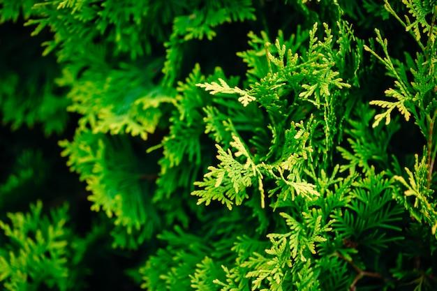 ヒノキの木 Premium写真