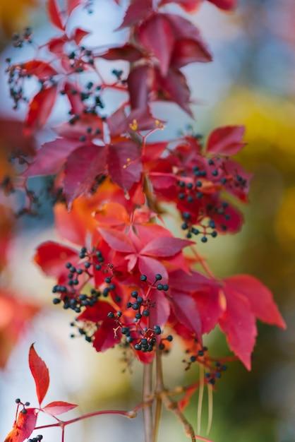Красные осенние листья дикого винограда крупным планом, селективный фокус Premium Фотографии