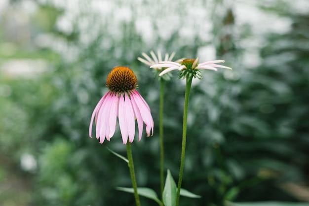 Красивый розово-фиолетовый цветок эхинацеи цветет в саду летом Premium Фотографии