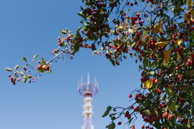 テレビ塔の背景に赤いガマズミの果実 Premium写真