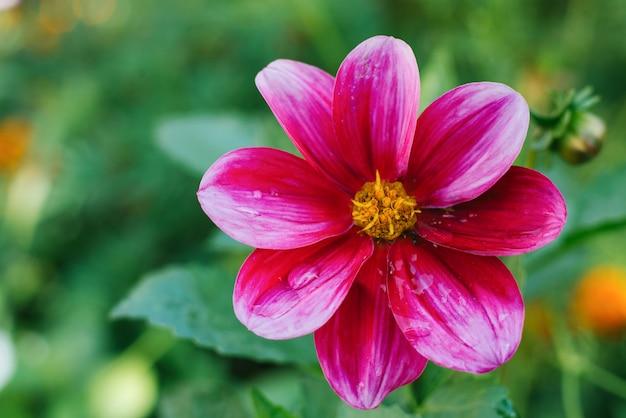 鮮やかなピンク紫ダリアの花が夏の庭で育ちます。コピースペース Premium写真