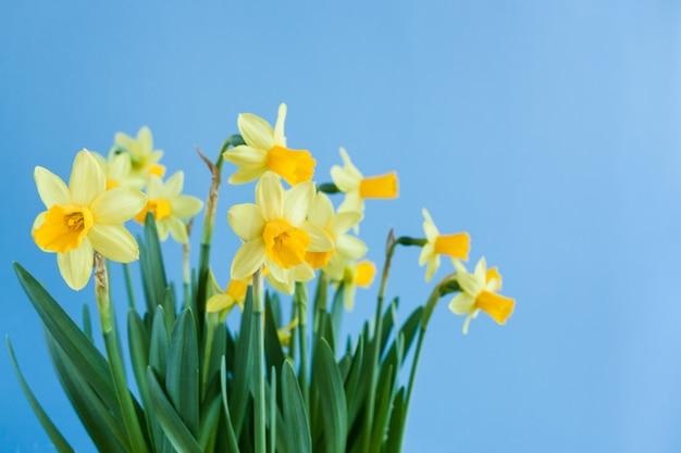 コピースペースと青色の背景に黄色の水仙の春のイースターブーケ。 Premium写真