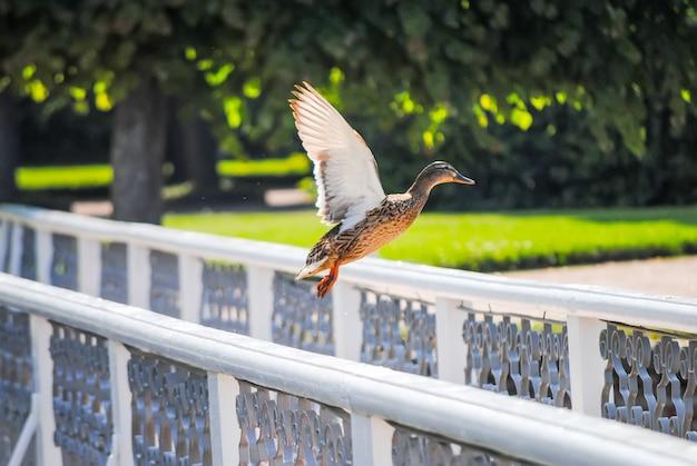 アヒルは橋の手すりから離陸します Premium写真