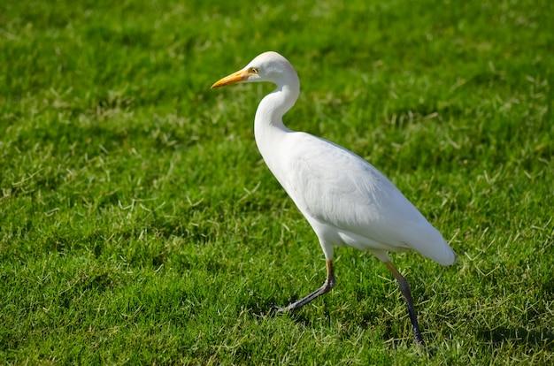 緑の牧草地にエジプトの白い鳥 Premium写真