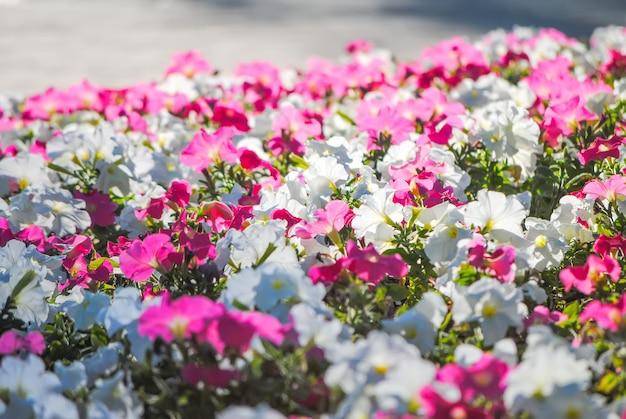 美しい花壇に素敵なペチュニア Premium写真