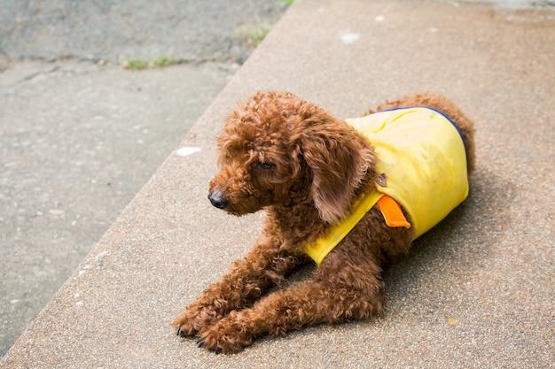 路上で横になっているスパニエル犬 Premium写真