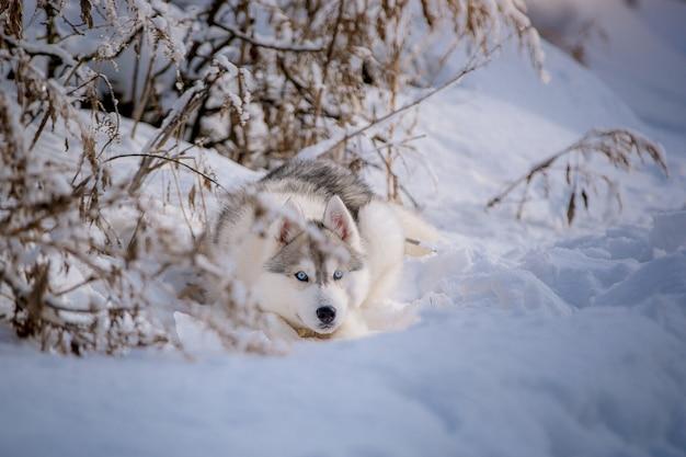 幸せな青い目のシベリアンハスキーは、雪の中で散歩を喜ぶ。 Premium写真