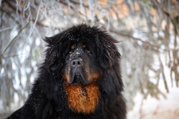 美しいチベットのマスチフ Premium写真