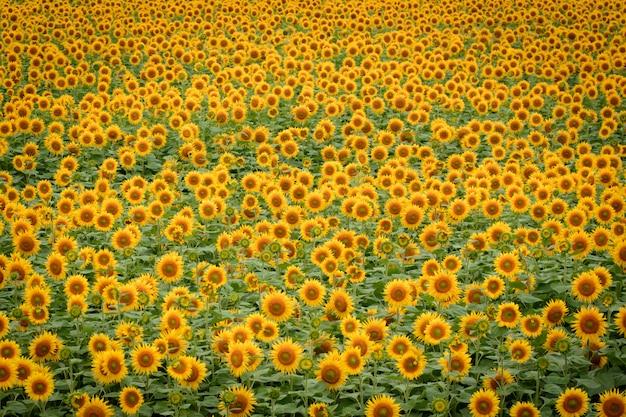 Большое поле спелых подсолнухов Premium Фотографии